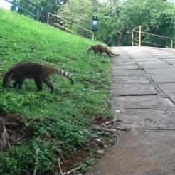 Los coatíes son muy curiosos y no tienen miedo de acercarse a los humanos.