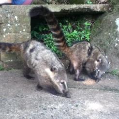 """Un par de coatíes comiendo las sobras de unas palomitas de maíz o """"pipocas"""" en portugués."""