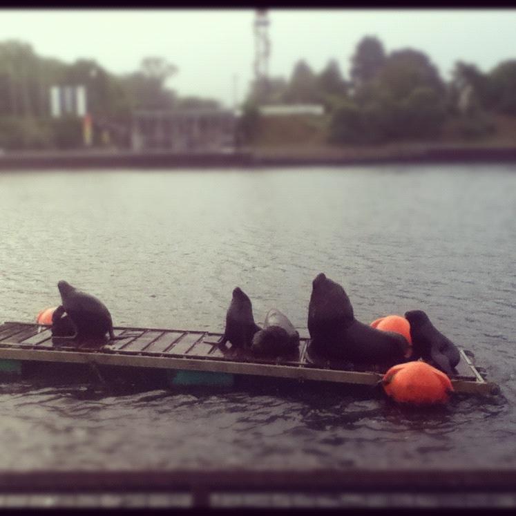Valdivia lobos marinos